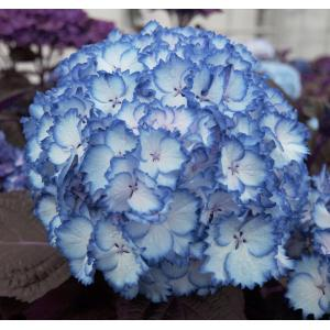 Hydrangea Macrophylla Charming® Julia Blue® boerenhortensia