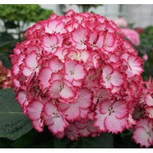 Hydrangea Macrophylla Charming® Julia Pink® boerenhortensia