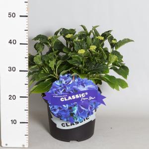 Hydrangea Macrophylla Classic® Fripon Blue® boerenhortensia