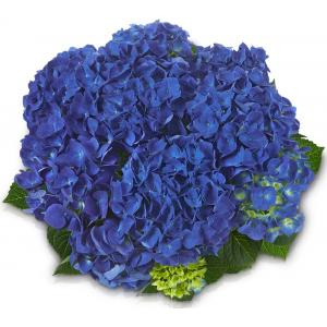 Hydrangea Macrophylla Classic® Jip® boerenhortensia