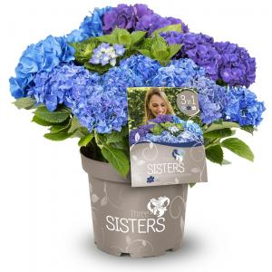 Hydrangea Macrophylla Three Sisters® Blue boerenhortensia