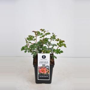 Persica roos (rosa persica For your Eyes only®)