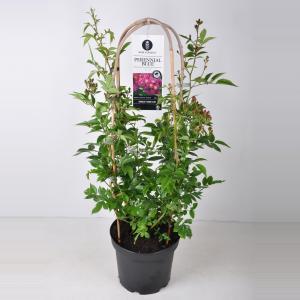 Rambler klimroos (rosa Perennial Blue®) - C7.5 - 1 stuks