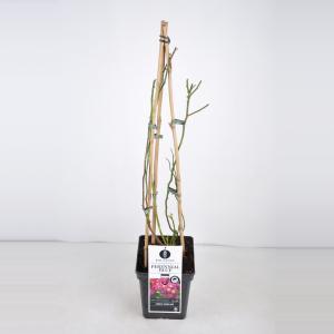 Rambler klimroos (rosa Perennial Blue®) - C5 - 1 stuks