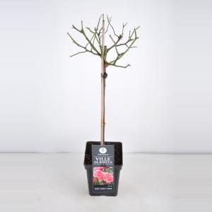 Trosroos op stam (rosa Ville de Roeulx) - Stam 50 cm - 1 stuks