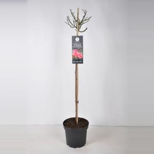 Trosroos op stam (rosa Ville de Roeulx) - Stam 70 cm - 1 stuks