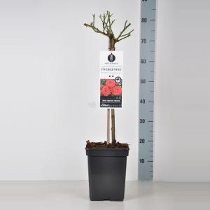 Miniatuurroos op stam (rosa Zwergenfee®)
