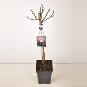 Grootbloemige roos op stam 50 cm (rosa Corfu®)