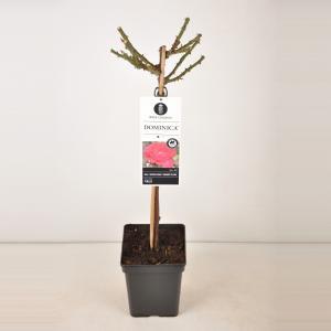 Grootbloemige roos op stam 50 cm (rosa Dominica®)