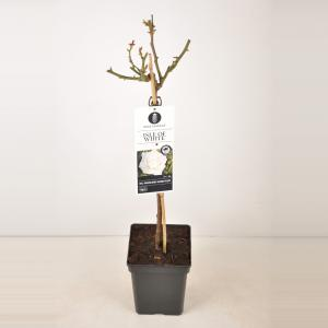 Grootbloemige roos op stam 50 cm (rosa Isle of White®)