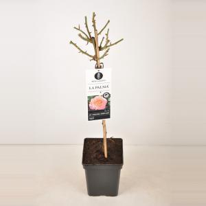 Grootbloemige roos op stam 50 cm (rosa La Palma®)