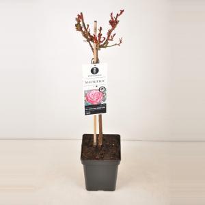 Grootbloemige roos op stam 50 cm (rosa Mauritius®)