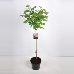 Grootbloemige roos op stam (rosa Chippendale®) - Op stam 70 cm - 1 stuks