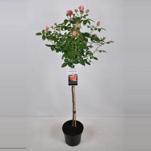 Grootbloemige roos op stam (rosa Chippendale®) - Op stam 90 cm - 1 stuks
