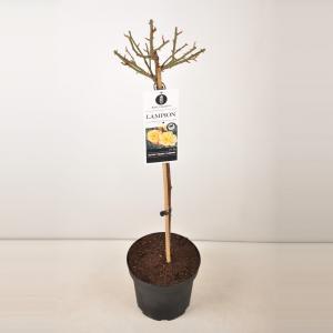 Trosroos op stam (rosa Lampion®)