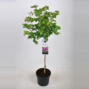 Trosroos op stam (rosa Minerva®) - Op stam 70 cm - 1 stuks