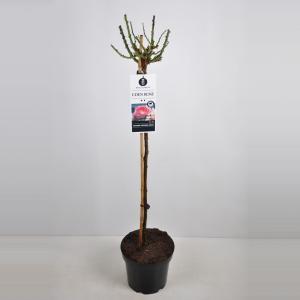 Treurroos op stam (Rosa Eden Rose®)