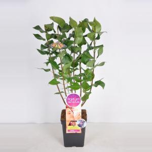 Sering (syringa vulgaris Michel BuchnerParfum de Nature)