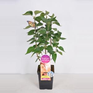 Sering (syringa vulgaris Mme LemoineParfum de Nature)