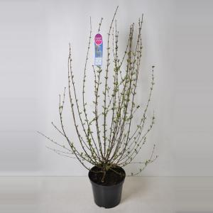 Dwergering (syringa persica Alba) - 70-100 - 1 stuks