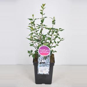 Sering (syringa chinensis Bicolor) - 40-60 cm - 1 stuks