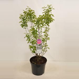 Sering (syringa chinensis Bicolor) - 90-120 cm - 1 stuks
