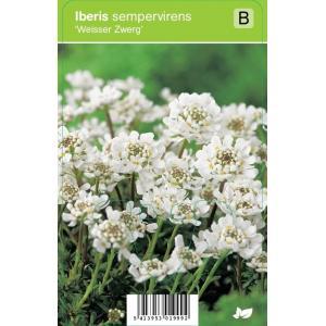 Scheefbloem (iberis sempervirens Weisser Zwerg) voorjaarsbloeier - 12 stuks
