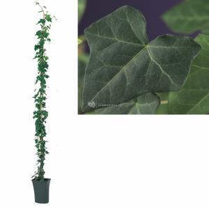 Ierse klimop (Hedera hibernica) klimplant - 210 cm - 1 stuks