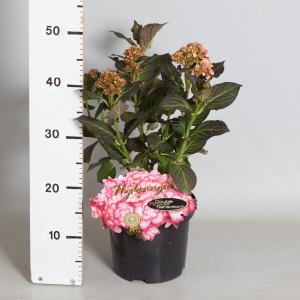 Hydrangea Macrophylla Miss Saori® boerenhortensia