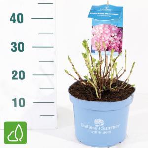 Hydrangea Macrophylla Endless Summer Pink® boerenhortensia