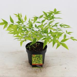 """Hemelse bamboe (Nandina domestica """"Brightlight"""") heester - 25-30 cm - 6 stuks"""
