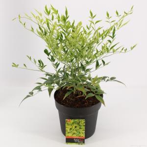 """Hemelse bamboe (Nandina domestica """"Brightlight"""") heester - 30-40 cm - 9 stuks"""