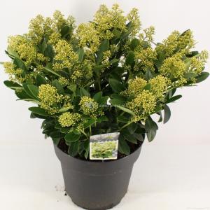 "Skimmia (Skimmia Japonica ""Finchy""®) heester - 50-60 cm (C15) - 4 stuks"