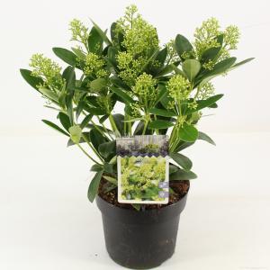 "Skimmia (Skimmia Japonica ""Finchy""®) heester - 30-40 cm (C2) - 6 stuks"