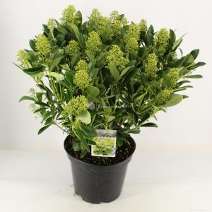 "Skimmia (Skimmia Japonica ""Finchy""®) heester - 40-50 cm (C10) - 5 stuks"