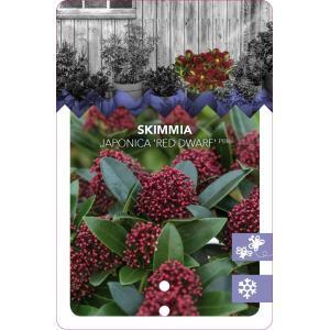 "Skimmia (Skimmia Japonica ""Red Dwarf""®) heester - 30-40 cm (C3) - 7 stuks"