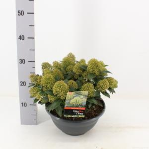 "Skimmia (Skimmia Japonica ""White Dwarf""®) heester - 10-15 cm (P27) - 5 stuks"