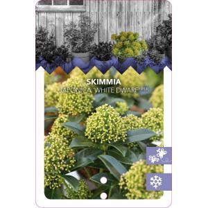 "Skimmia (Skimmia Japonica ""White Dwarf""®) heester - 30-40 cm (C4.5) - 9 stuks"