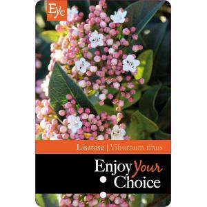 "Sneeuwbal (Viburnum tinus ""Lisa Rose""®) heester - 25-30 cm (C2) - 6 stuks"