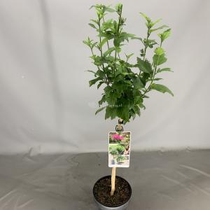Hibiscus syriacus Woodbridge op stam - Stam 50 cm - 3 stuks