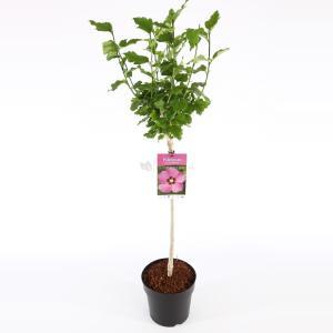 Hibiscus syriacus Woodbridge op stam - Stam 60 cm - 9 stuks