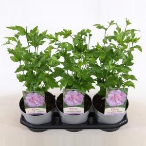 Hibiscus syriacus Lavender Chiffon - 40 cm - 3 stuks