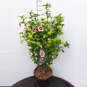 Hibiscus syriacus Hamabo - 60 - 80 cm - 5 stuks