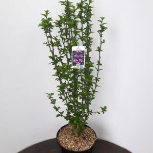 Hibiscus syriacus Ardens - 80 - 90 cm - 5 stuks
