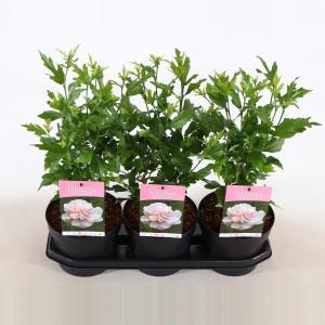 Hibiscus syriacus Lady Stanley - 3 stuks