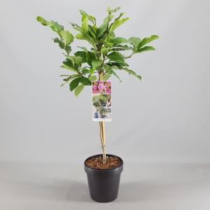 Magnolia struik Susan op stam - 3 stuks