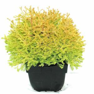 Westerse levensboom (Thuja occidentalis Rheingold) conifeer