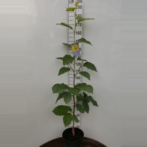 Magnolia struik Honey Tulip - 2 stuks