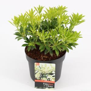 "Rotsheide (Pieris Japonica ""Debutante"") heester - 20-25 cm (C2) - 6 stuks"