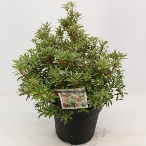 "Rotsheide (Pieris Japonica ""Little Heath"") heester - 30-40 cm (C4.5) - 9 stuks"